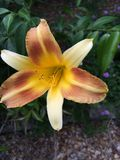 Sunset Lilly Royalty Free Stock Photos