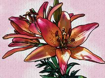 Sunset Lily with a textured finish. Royal Sunset lily just bloomed in a flower garden. The color of this bloom is just amazing Stock Photo