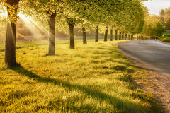 Sunset through a line of rural trees Stock Images