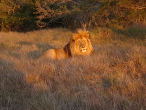 Sunset Lion. Adult male lion catching the last of the sun befor it sets Royalty Free Stock Image