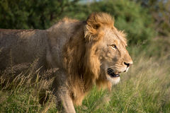 Sunset Lion. A young male lion with evening light Royalty Free Stock Photos