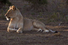 Sunset Lioness Royalty Free Stock Photo