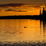 Sunset Loon. A loon swims across golden waters at sunset royalty free stock photography