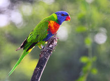 Sunset Lorikeet Stock Photography