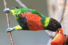Sunset lorikeet. Eating the apple Royalty Free Stock Photography