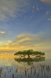 Sunset and Mangrove tree. A mangrove tree make a reflection on the water. Sunset behind of the mangrove tree Royalty Free Stock Photo