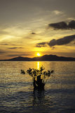 Sunset  with mangrove tree Royalty Free Stock Photos