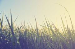 Sunset on the meadow and ambrosia weed Royalty Free Stock Image