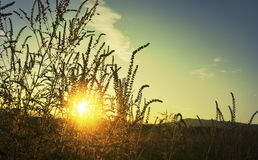 Sunset on the meadow and ambrosia weed Royalty Free Stock Images