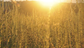 Sunset on the meadow and ambrosia weed Stock Photos