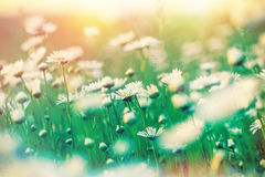 Sunset on meadow with daisy flowers Stock Images