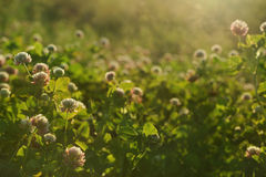 Sunset meadow. Sunset field shallow DOF background - sunny meadow with clover flowers stock photography
