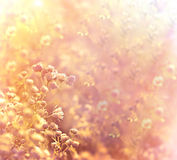 Sunset in meadow of flower daisy Royalty Free Stock Image