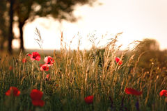 Sunset on meadow with poppy flowers. And grass stock photo