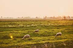 Sunset at the meadow with sheep Royalty Free Stock Photos