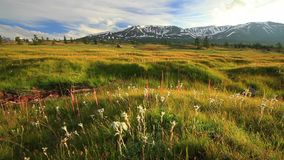Sunset in the mountains of Altai, Mongolia. Meadow with edelweisses stock video
