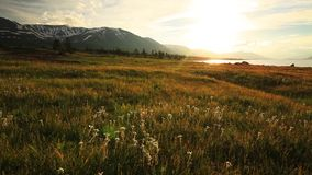 Sunset in the mountains of Altai, Mongolia. Meadow with edelweisses stock footage