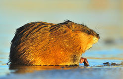 Sunset Muskrat Stock Photo