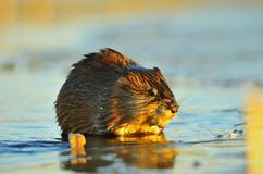Sunset Muskrat Royalty Free Stock Photography