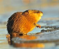 Sunset Muskrat Stock Images