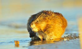 Sunset Muskrat Stock Photography