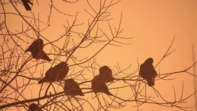 Sunset nature crows flock of birds sitting on the tree cold winter Stock Image