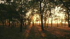 Sunset in an oak forest. Autumn forest at sunset. Video in motion