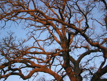 Sunset Oak Tree. 100 year old oak tree with curly branches, leafless in winter, with warm glow of sunset against blue sky Royalty Free Stock Photography