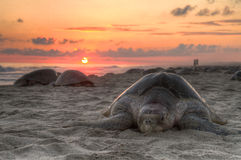 Sunset ocean turtle Royalty Free Stock Photo