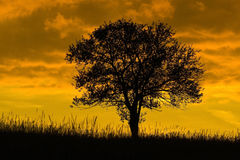 Sunset at old oak tree. Silhouette of an old tree, oak, in sunset Royalty Free Stock Photo