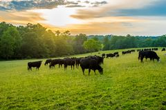 Free Sunset On Field Of Black Cows Grazing On Grass Stock Image - 158885951