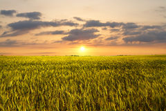 Sunset On Wheat Field Royalty Free Stock Image
