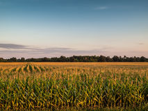 Sunset Over Agricultural Corn Field. Sunset Over Agricultural Corn crop Field Royalty Free Stock Image
