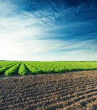 Sunset over agricultural field with green tomatoes Stock Images