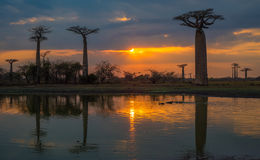 Sunset over Alley of the baobabs, Madagascar Royalty Free Stock Photography
