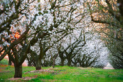 Sunset over an almond trees field Royalty Free Stock Image