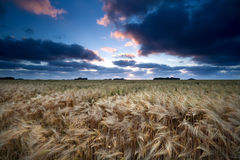 Sunset over barley field Stock Photography