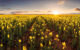 Sunset over canola field with path  in Slovakia - panorama Royalty Free Stock Photo