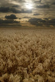 Sunset over cereals field Royalty Free Stock Photo