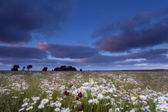 Sunset over chamomile flowers field Royalty Free Stock Photography