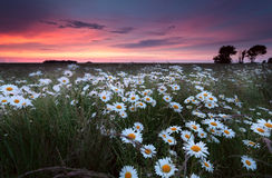 Sunset over chamomilr flowers field Royalty Free Stock Photo