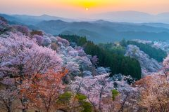 Sunset over cherry trees forest Stock Photo