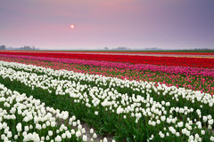 Sunset over colorful tulip field Stock Images