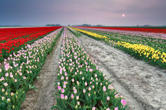 Sunset over colorful tulip field. Holland Royalty Free Stock Photo