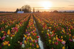 Sunset over Tulip Fields. Sunset over colorful Tulip flower fields during spring season tulip festival in Woodburn Oregon Royalty Free Stock Images