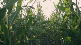 Sunset over the corn field. Corn in the sun. Green cornfield at sunset
