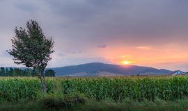 Sunset over corn field Royalty Free Stock Photos