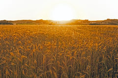 Sunset over the corn fields. In Portugal Royalty Free Stock Photography