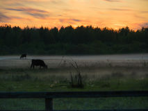 Sunset over cows in a foggy field. Royalty Free Stock Photo
