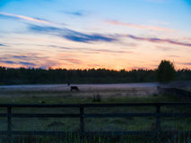 Sunset over cows in a foggy field. Stock Photos